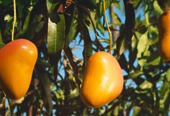 Rubicon Talking Mangoes